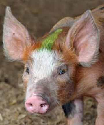 Rencontre femme cochon